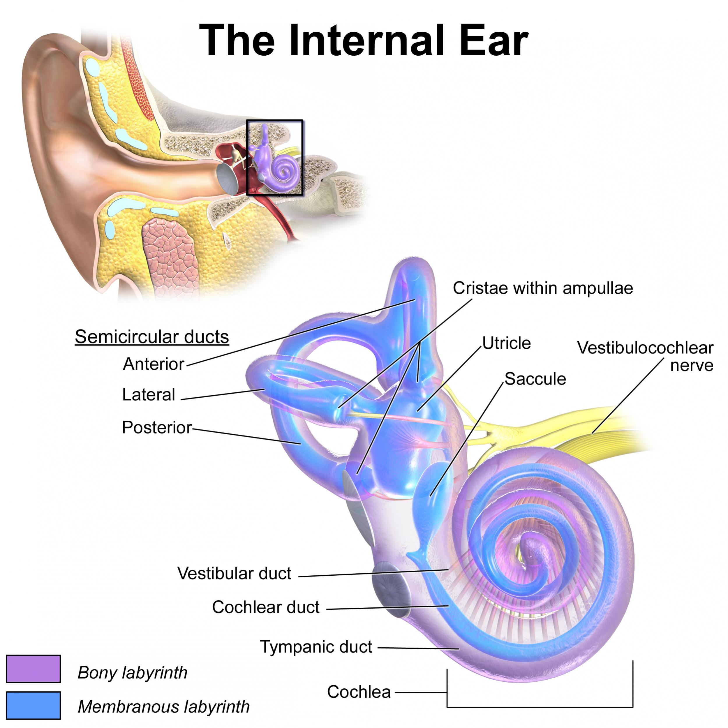 Name:  cochlea saccule utricle.jpg