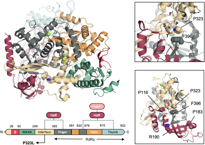 Name:  Variant Spike Protein D614 structural implications.jpg Views: 111 Size:  138.1 KB